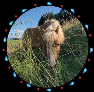 scotty Pony - Pferd der Kinderreitschule Grabenstätt im Chiemgau / Traunstein in Bayern